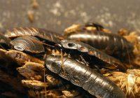 Le blatte non vengono mai da sole come distruggere la colonia